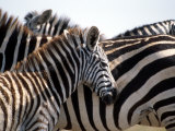 Black and White Stripe Pattern of a Plains Zebra Colt  Kenya