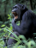 Female Chimpanzee Yawning  Gombe National Park  Tanzania