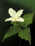 Four Petal White Trillium  Wilderness State Park  Michigan  USA