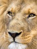 Male Lion at Africat Project, Namibia Papier Photo par Joe Restuccia III