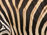 Zebra  Australia