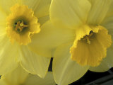 Daffodils  Cache Valley  Utah  USA