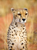 Sitting Cheetah at Africa Project  Namibia