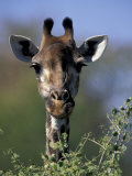 Close-up of Giraffe Feeding  South Africa