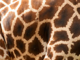 Rothschild&#39;s Giraffe Skin  Australia