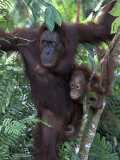 Orangutan Mother and Baby in Tree  Tanjung National Park  Borneo