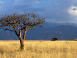 A Lone Tree in the Grasslands of Nechisar National Park  Ethiopia