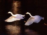 Snowy Egrets in Flight at Dawn