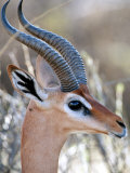 Close-up of Male Gerenuk  Kenya