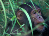 Female Chimpanzee Rolls the Leaves of a Plant  Gombe National Park  Tanzania