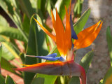 Bird-of-Paradise Flower  Sunshine Coast  Queensland  Australia