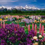 Iris and Lupin Garden  Teton Range