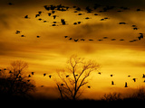 Sandhill Cranes are Silhouetted against a Fiery Sunset