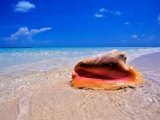 Conch at Water's Edge  Pristine Beach on Out Island  Bahamas