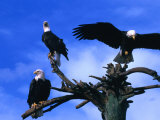 Three Bald Eagles (Haliaeetus Leucocephalus) in Homer Alaska  Homer  USA