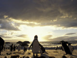 Black-Footed Penguins on the Beach  South Africa