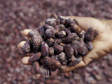 Handful of Nutmeg  St George  Grenada  Caribbean