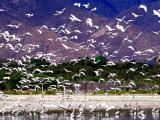 Nesting Egrets at Lago Enriquillo  Dominican Republic  Caribbean