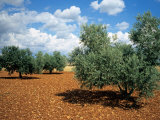 Olive Trees in Provence  France