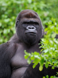 Silverback Lowland Gorilla