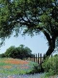 Paintbrush and Bluebonnets, Texas Hill Country, Texas, USA Papier Photo par Adam Jones