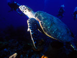 Scuba Diving in Soufriere Bay with Loggerhead Turtle  Dominica  Caribbean