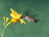 Female Ruby-Throated Hummingbird Feeding in Flight