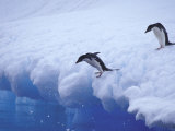 Adelie Penguins Dive from an Iceberg  Antarctica
