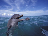 Bottlenose Dolphins  Caribbean