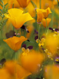 Californina Poppies  USA