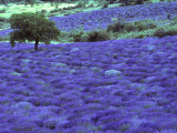Lavender Field and Almond Tree  Provance  France