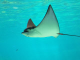 Sting Ray, Sea World, Gold Coast, Queensland, Australia Papier Photo par David Wall