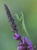 Praying Mantis on Purple Loosestrife