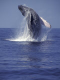 Humpback Whale Breaching