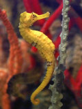 A Longsnout Seahorse Moves Gracefully Through Coral