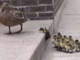 A Mother Duck  Left  Takes Her Ducklings for a Walk up a Flight of Cement Steps