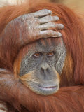 Female Sumatran Orangutan