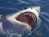 Dangerous Mouth of the Great White Shark  South Africa