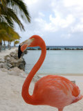 Pink Flamingo on Renaissance Island  Aruba  Caribbean