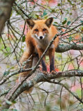 Red Fox in Tree