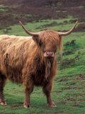 Scottish Highland Cattle  Isle of Skye  Scotland