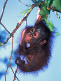 Baby Orangutan  Tanjung Putting National Park  Indonesia
