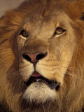 Closeup of a Male Lion  South Africa