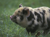 Domestic Farmyard Piglet  South Africa