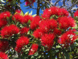 Pohutukawa Flowers  New Zealand