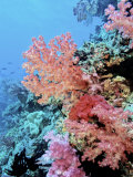 Colorful Sea Fans and other Corals  Fiji  Oceania
