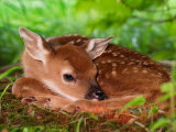 White-tailed Deer Baby  Kentucky