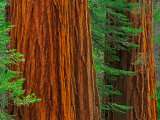 Giant Sequoia Trunks in Forest  Yosemite National Park  California  USA