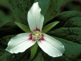 Painted Trillium  Port Huron  Michigan  USA