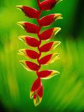Heliconia Flower  Nadi  Fiji